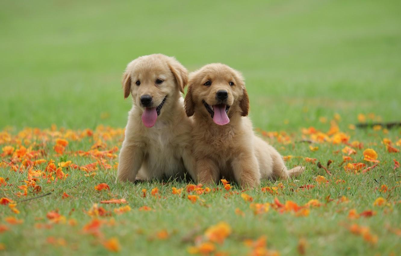 Photo wallpaper grass, flowers, Park, cute, puppy, golden, happy, lawn, puppy, dog, park, Retriever, cute, retriever