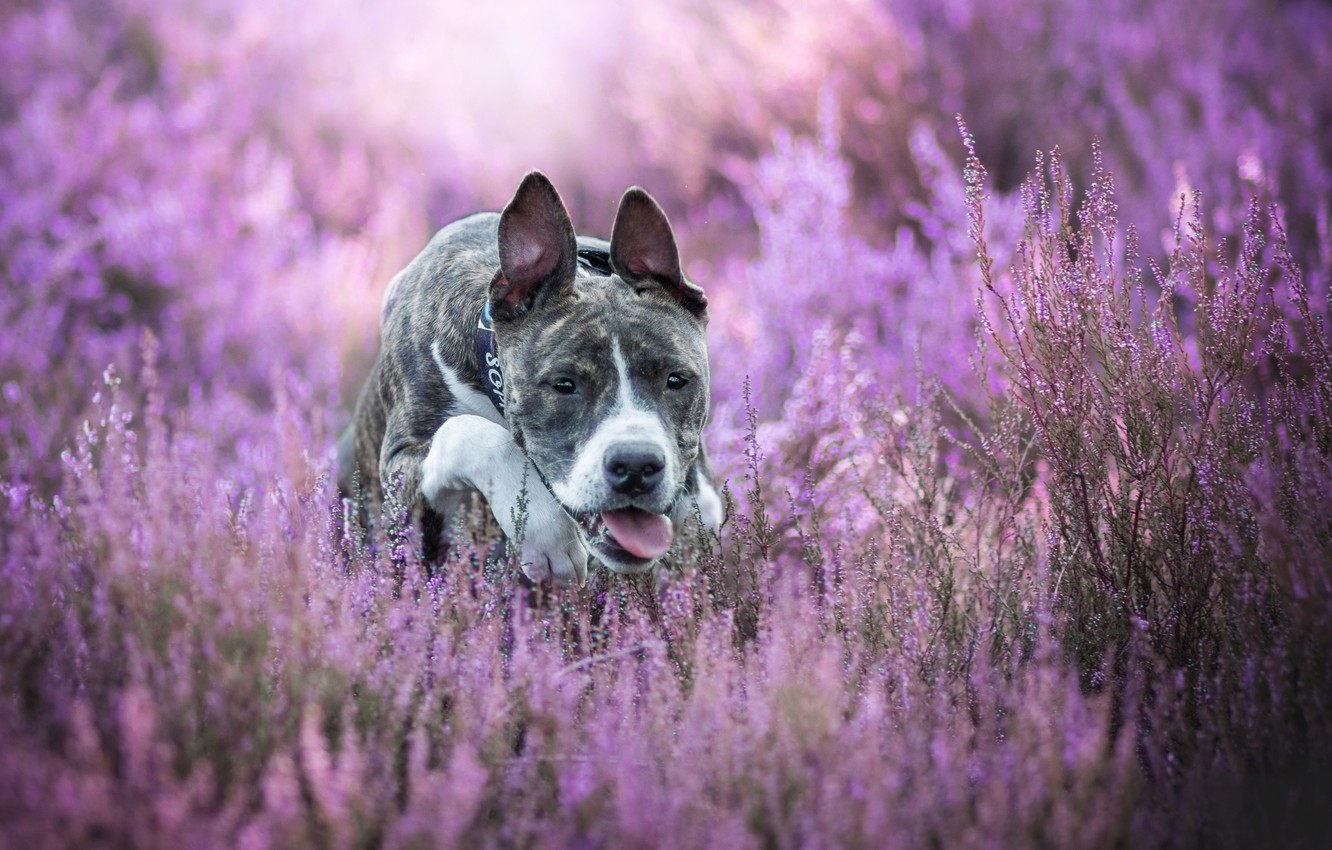 Photo wallpaper dog, bokeh, Heather, American Staffordshire Terrier