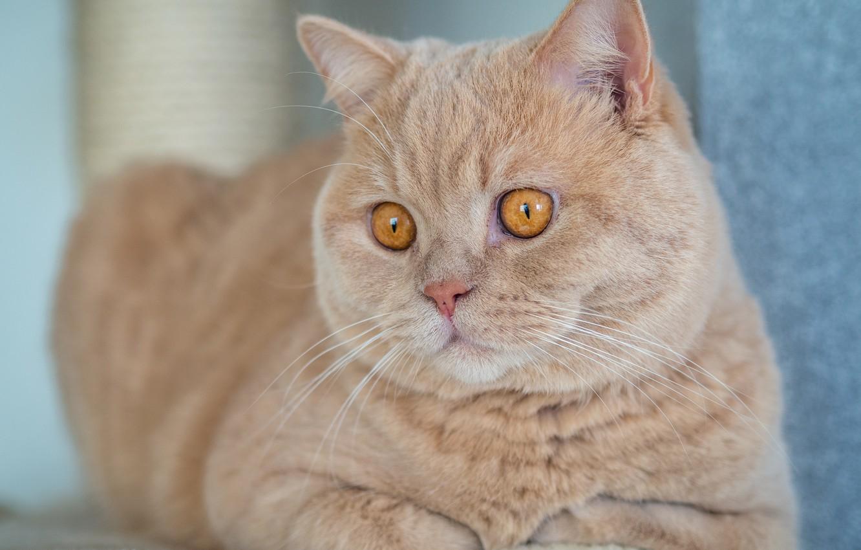 Photo wallpaper cat, handsome, British Shorthair