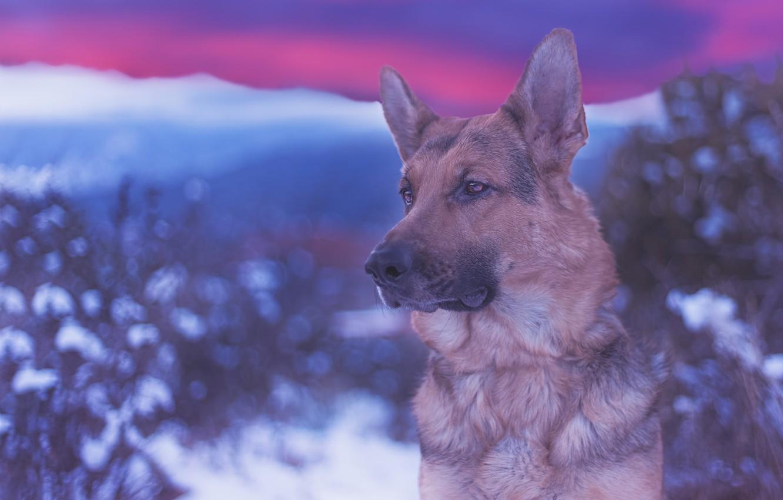 Photo wallpaper look, face, portrait, dog, bokeh, German shepherd