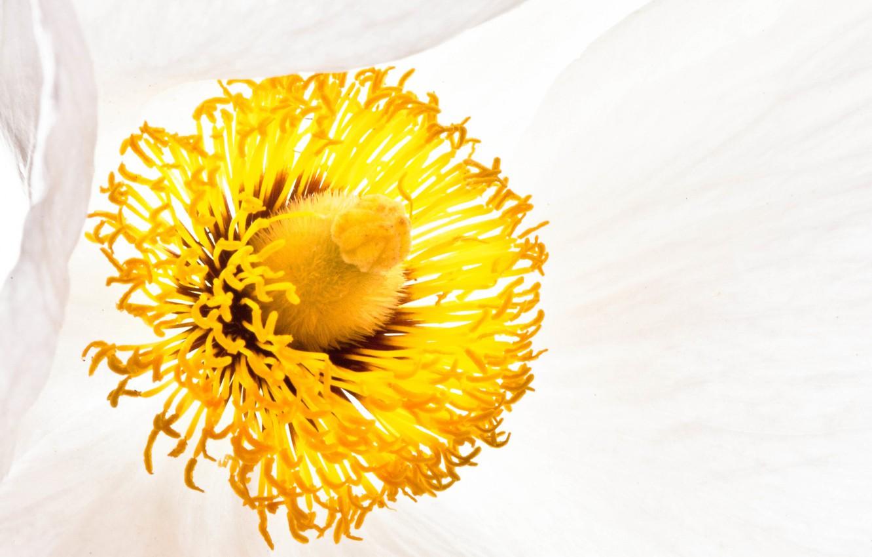 Photo wallpaper flower, Mac, stamens