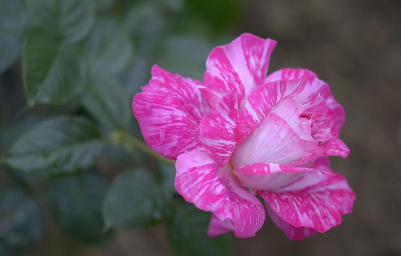 Photo wallpaper macro, rose, petals, Bud, colorful