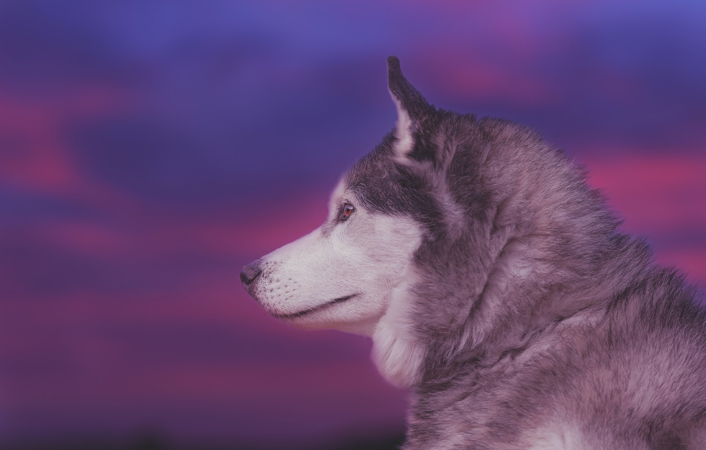 Photo wallpaper face, background, portrait, dog, profile, Husky