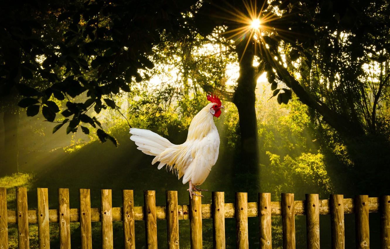 Photo wallpaper summer, nature, bird, morning, sunrise, cock