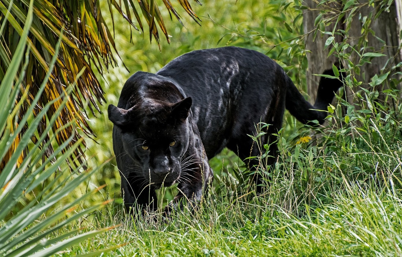 Photo wallpaper predator, Panther, wild cat, looks, black Jaguar