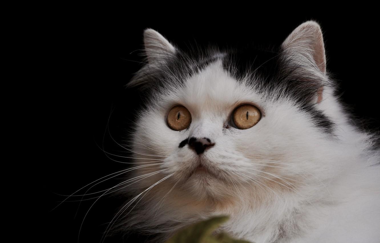 Photo wallpaper cat, cat, background, portrait, muzzle, everyday