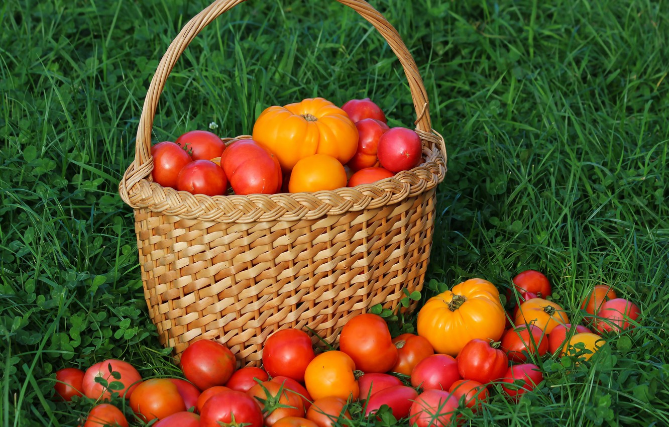 Photo wallpaper autumn, harvest, tomatoes, tomatoes, vitamins, delicious, cottage