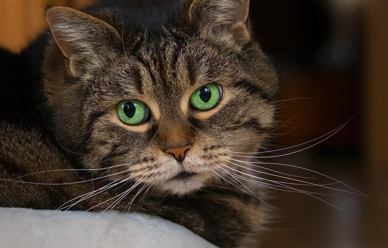 Photo wallpaper cat, look, portrait, striped