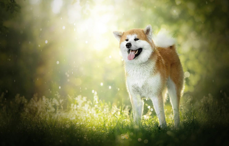 Photo wallpaper dog, bokeh, Akita inu