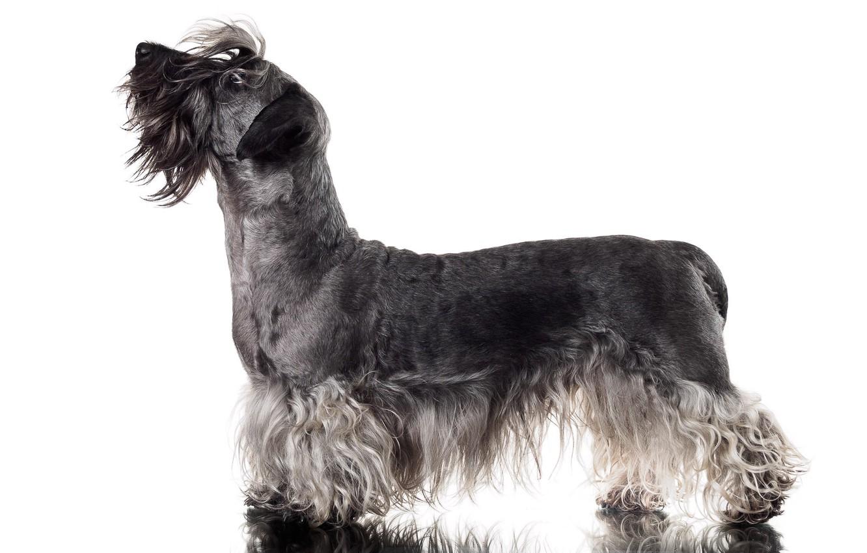Photo wallpaper background, dog, Cesky Terrier