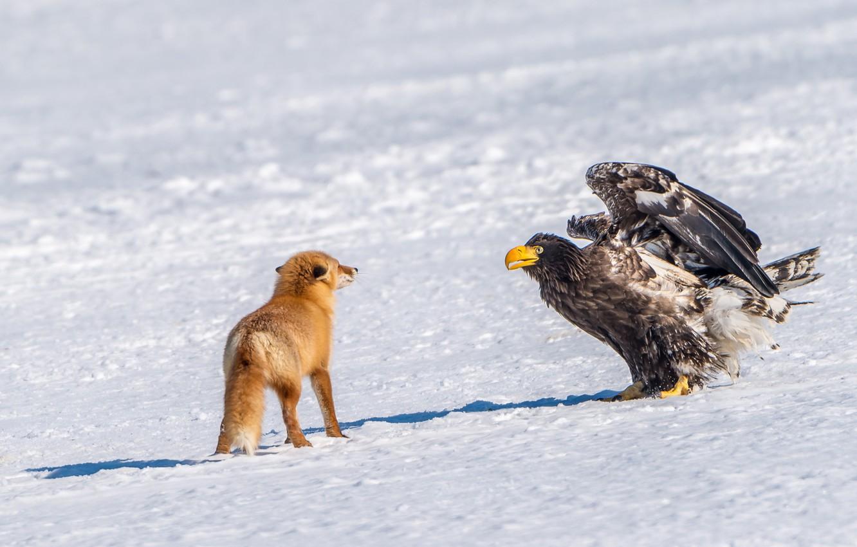 Photo wallpaper winter, snow, bird, meeting, predator, Fox, red, Steller's sea eagle