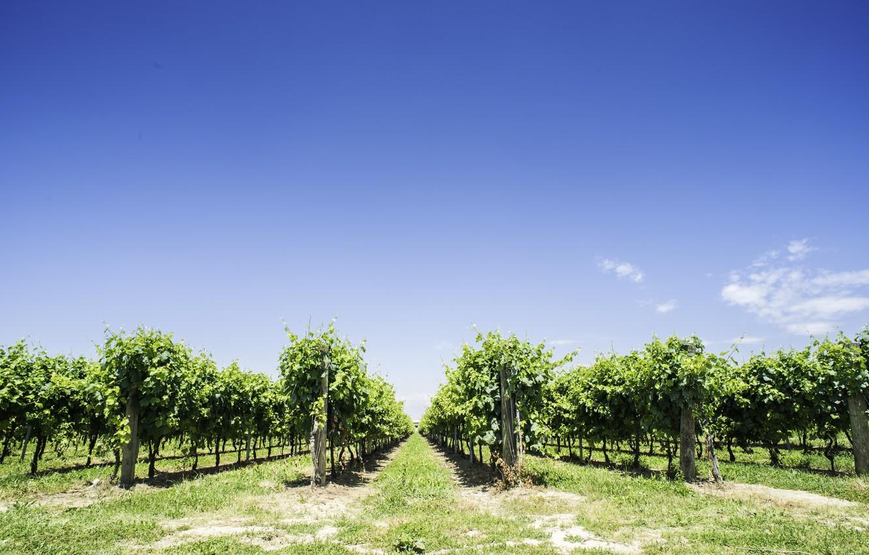 Photo wallpaper nature, vineyard, the bushes, blue sky