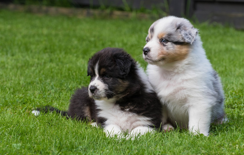 Photo wallpaper dogs, puppies, kids, a couple, Australian shepherd, Aussie