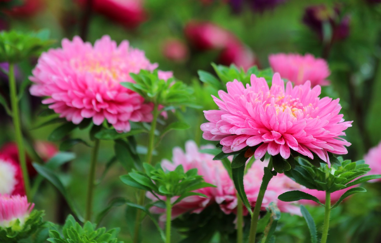 Photo wallpaper summer, flowers, nature, beauty, August, Astra, flowering, cottage