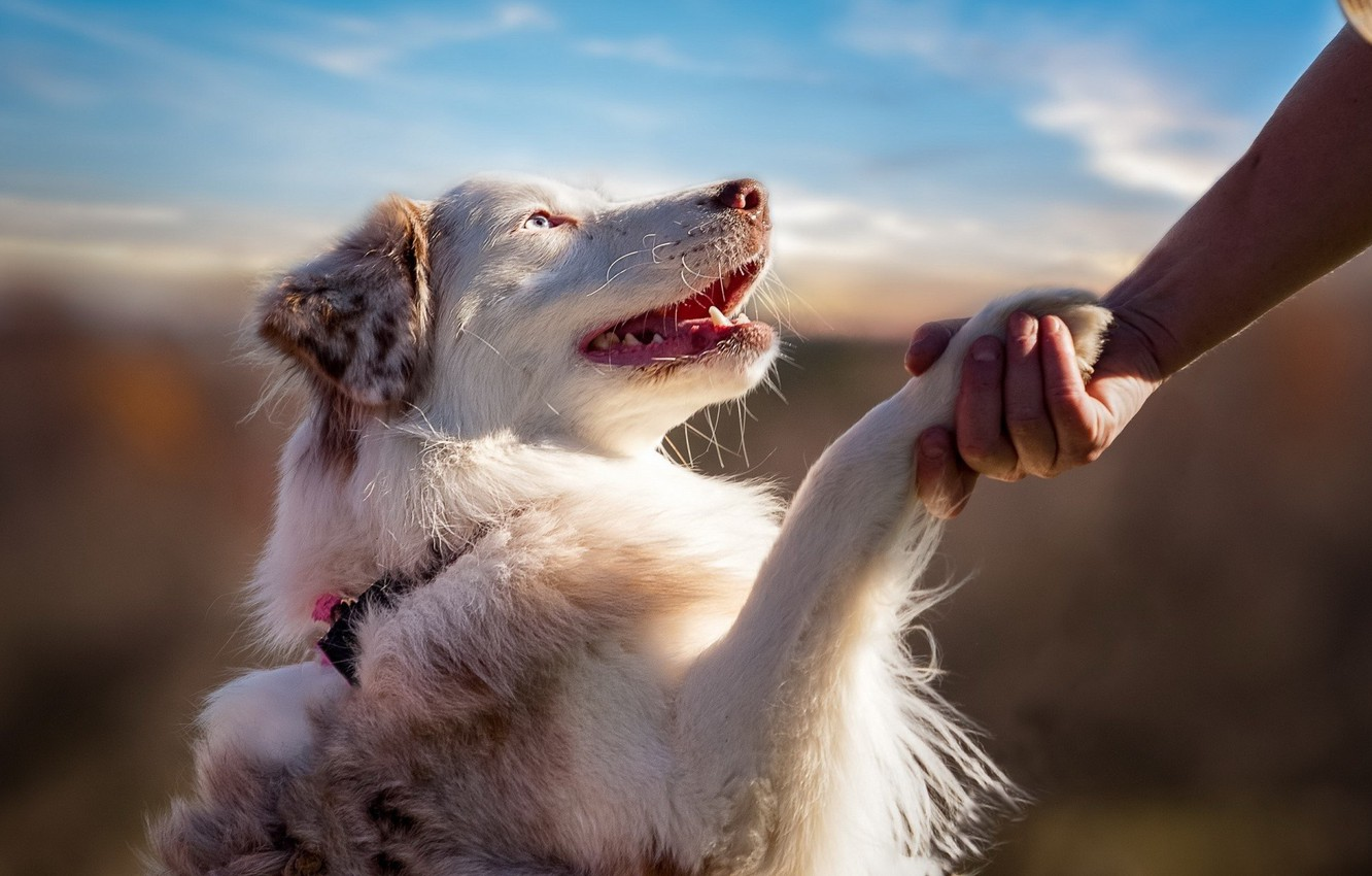Photo wallpaper dog, blue eyes, animal, friendship, hand, feeling, fur, ears, paw, mouth, open mouth, muzzle, teeth, …