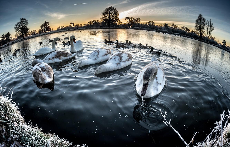 Photo wallpaper winter, lake, swans