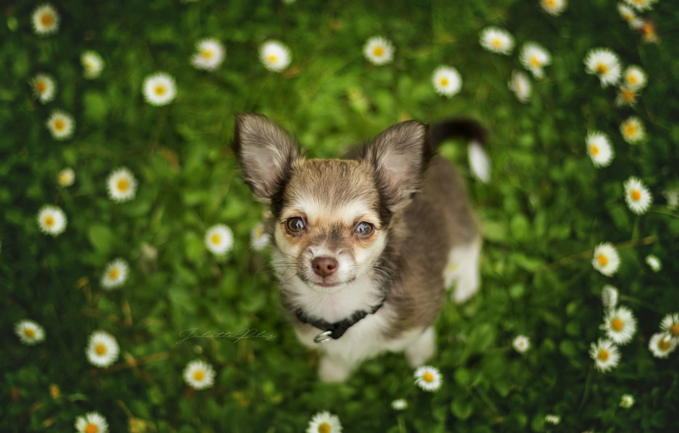 Photo wallpaper look, flowers, dog, face, bokeh, doggie, Chihuahua, dog