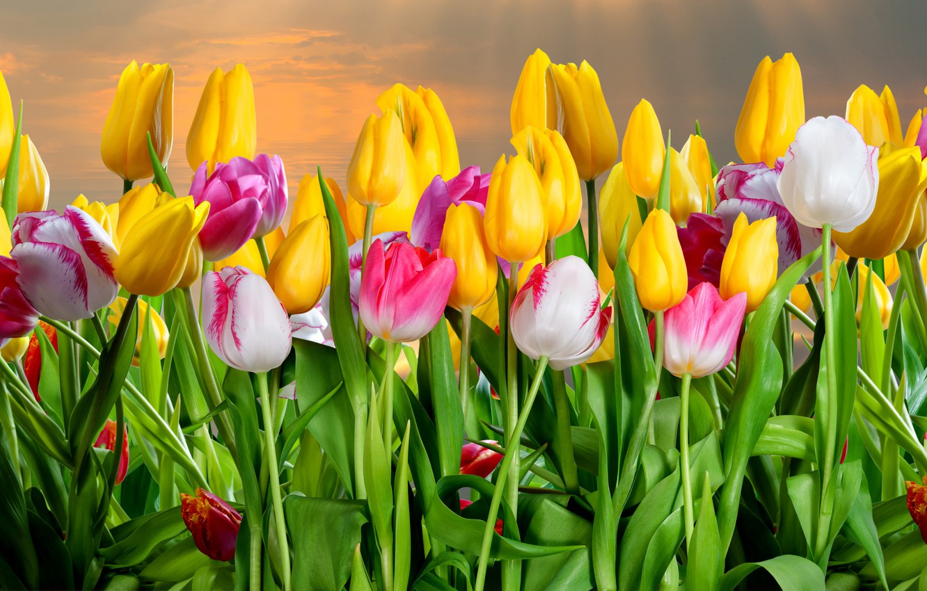 Photo wallpaper flowers, tulips, buds, flowering