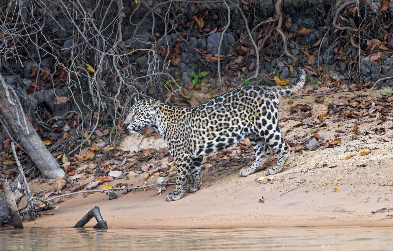 Photo wallpaper predator, Jaguar, cub, wild cat