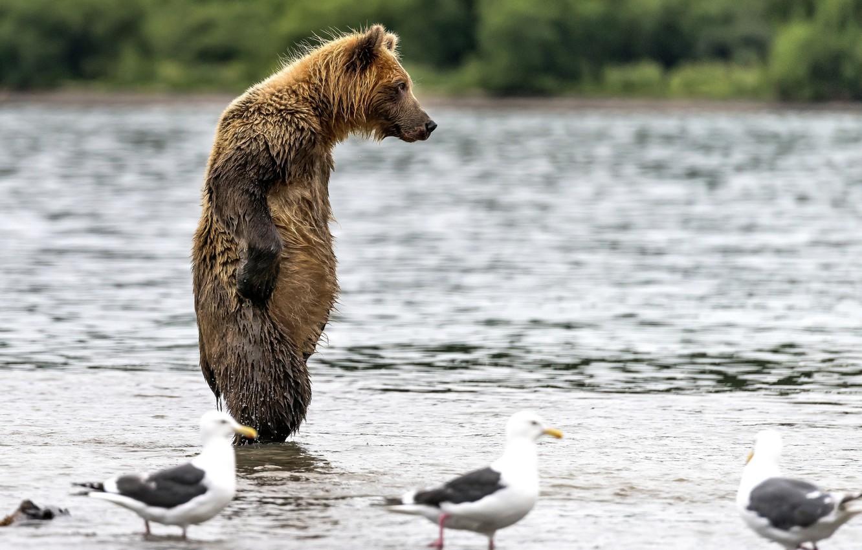 Photo wallpaper water, wet, bear