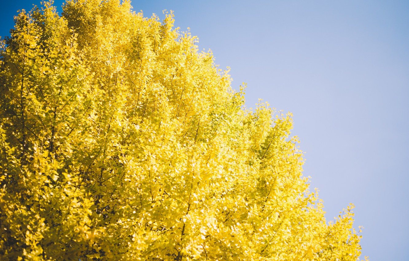 Photo wallpaper the sky, tree, yellow leaves