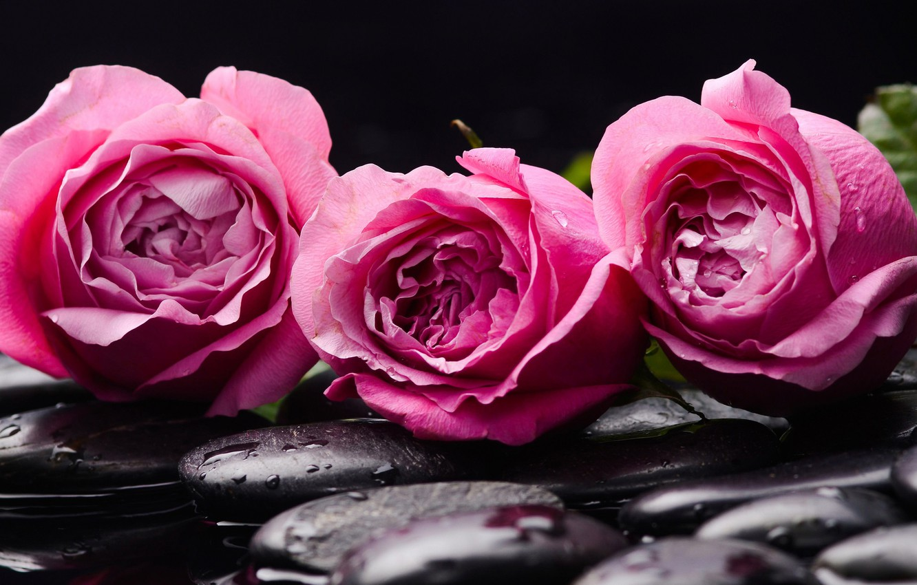 Photo wallpaper water, stones, roses, buds