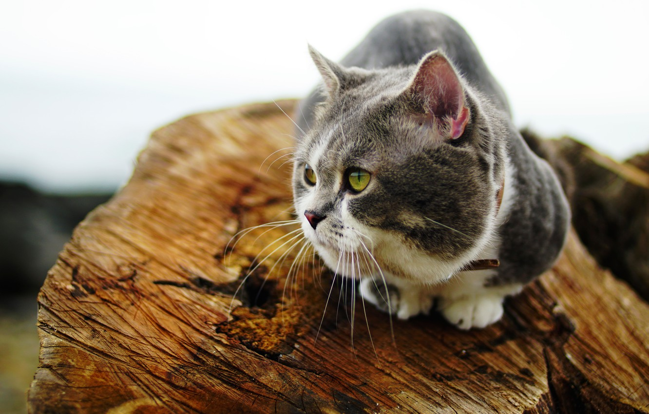 Photo wallpaper cat, cat, look, grey, stump, white background, log, sitting, fat face, well padded