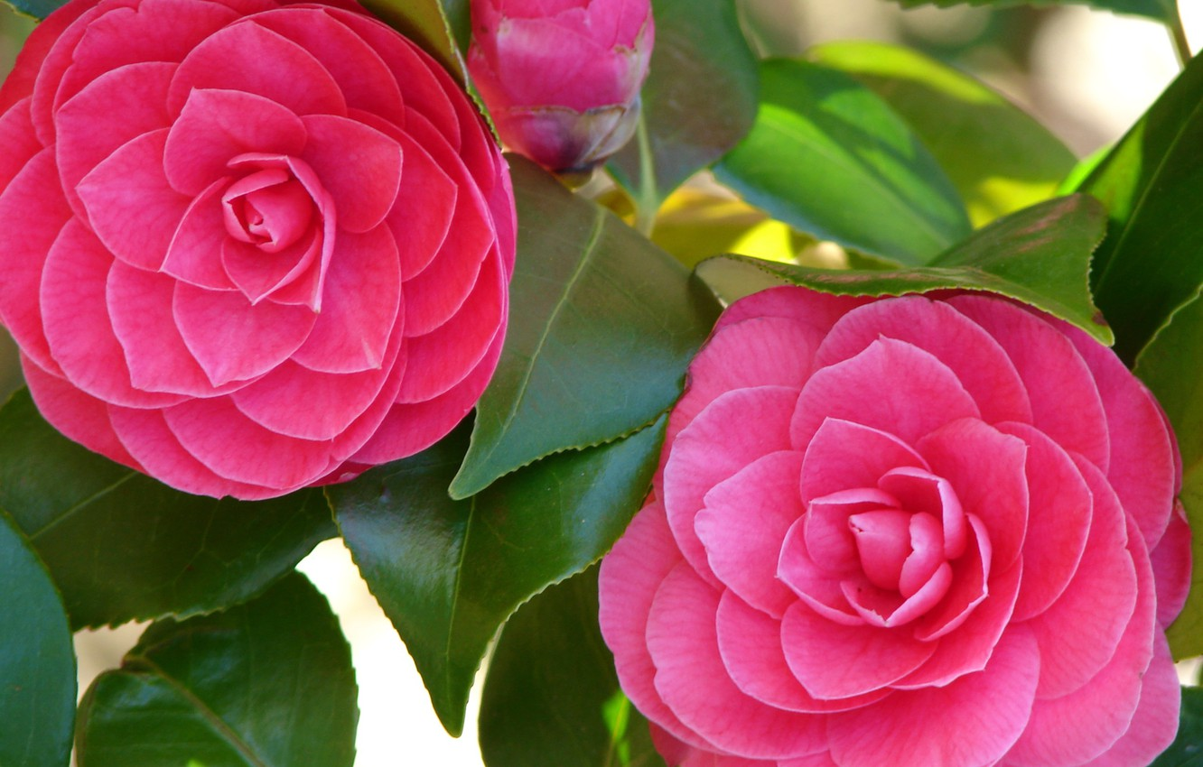Photo wallpaper greens, flowers, freshness, Bud, Camellia, luster leaf, bright pink petals, Camellia Closeup