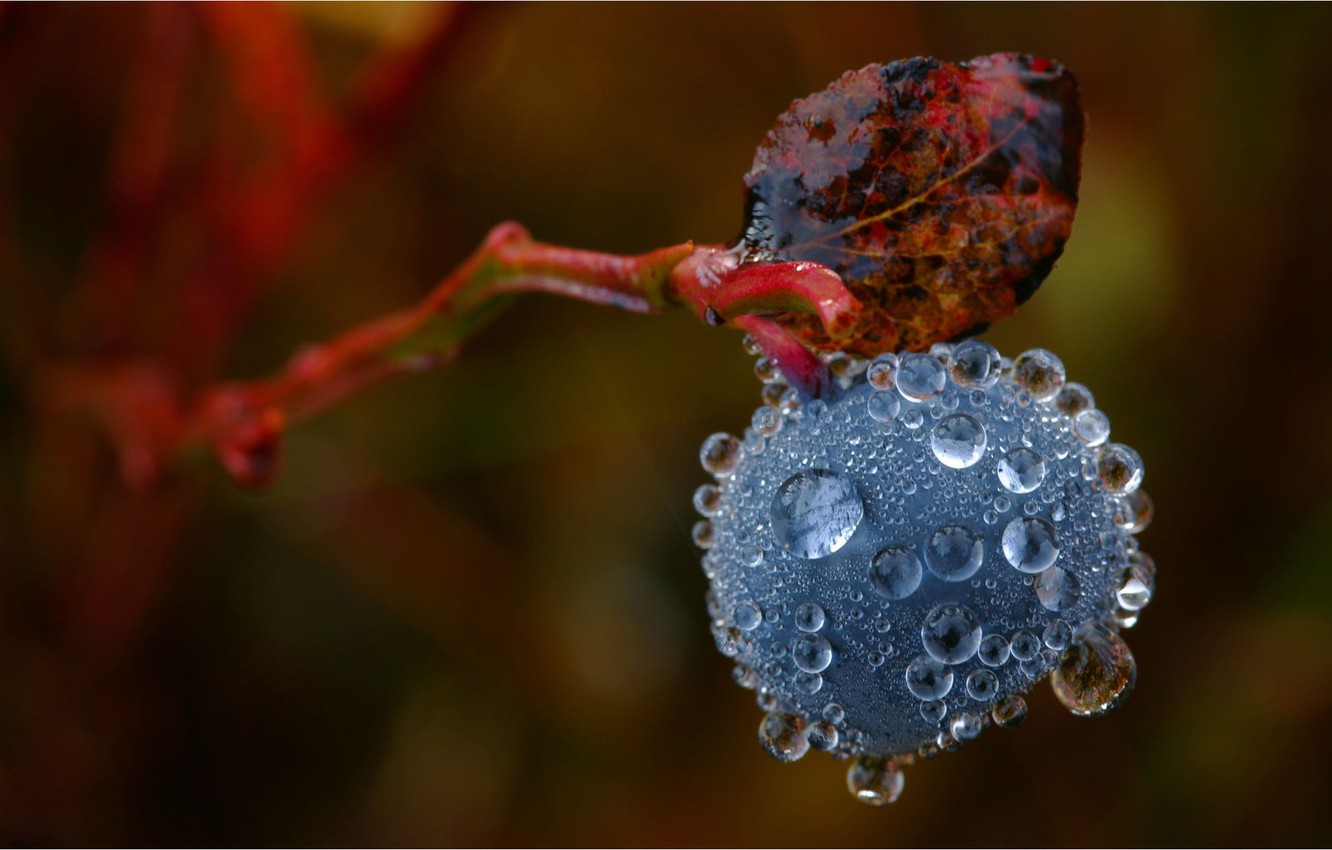 Photo wallpaper drops, macro, Rosa, sprig, background, blueberries, berry