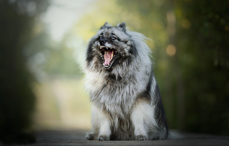 Photo wallpaper dog, mouth, bokeh, fluffy, The Keeshond, Wolfspitz