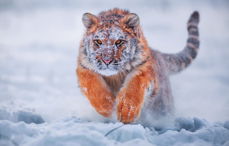 Photo wallpaper winter, snow, tiger, tiger, young tiger