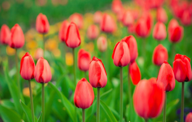 Photo wallpaper spring, garden, meadow, tulips