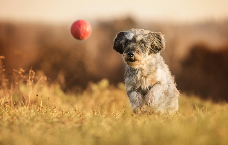 Photo wallpaper dog, walk, the ball, bokeh