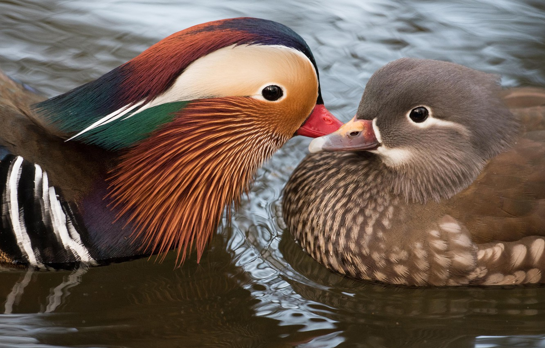 Photo wallpaper water, love, birds, nature, pond, bird, cute, duck, pair, lovers, a couple, duck, pond, female, …