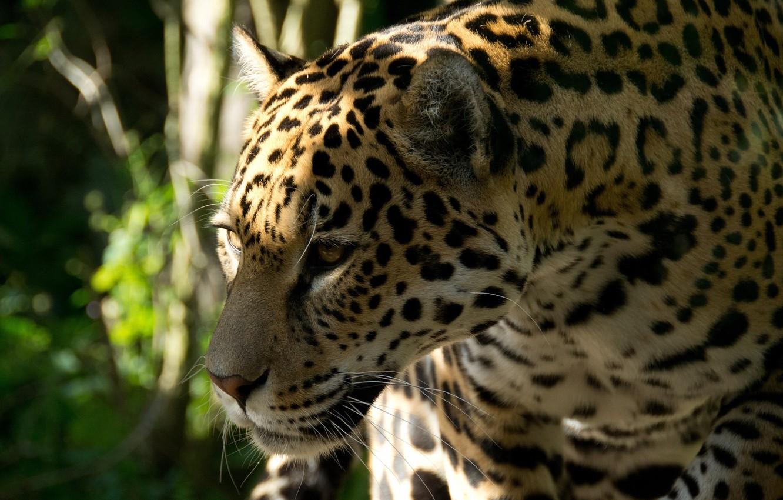 Photo wallpaper face, predator, Jaguar, profile, wild cat
