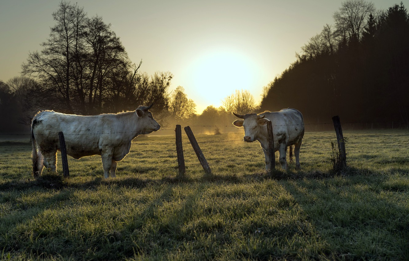 Photo wallpaper the fence, morning, cattle