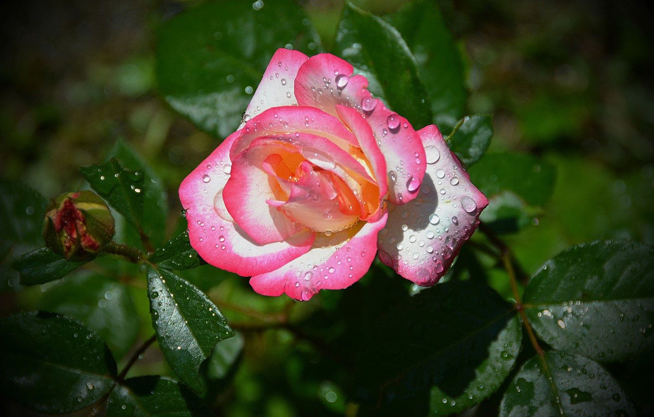 Photo wallpaper Drops, Bud, Bokeh, Pink rose, Pink rose, Drops
