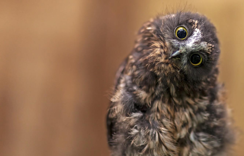 Photo wallpaper eyes, look, background, owl, bird, owlet