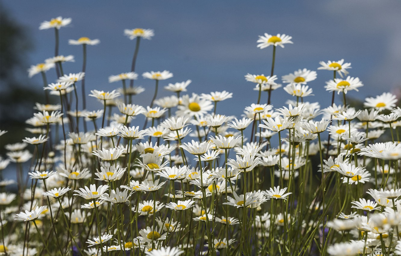 Photo wallpaper flowers, Chamomile, clearing, flowering