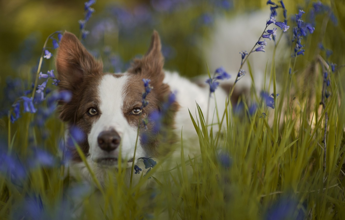 Photo wallpaper grass, look, face, flowers, dog, bells, The border collie