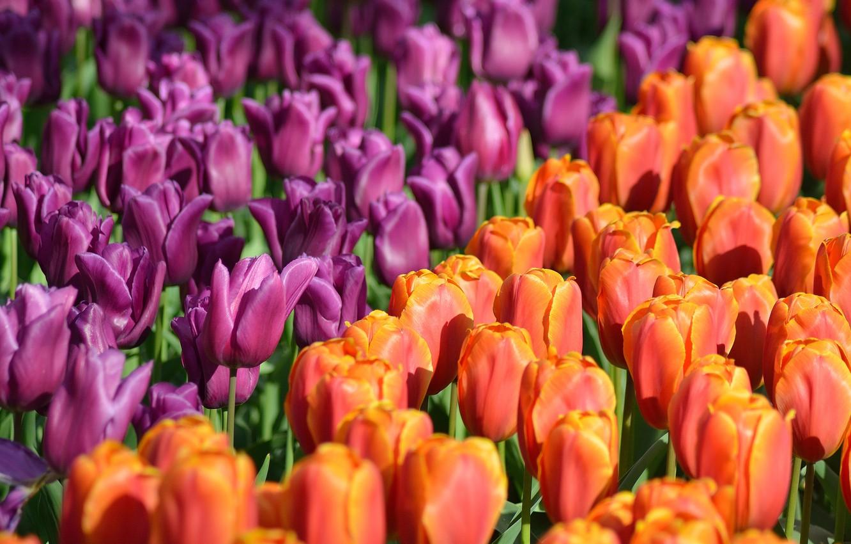 Photo wallpaper Park, tulips, Netherlands, buds, a lot, Netherlands, Keukenhof, Keukenhof, Lisse, Lisse