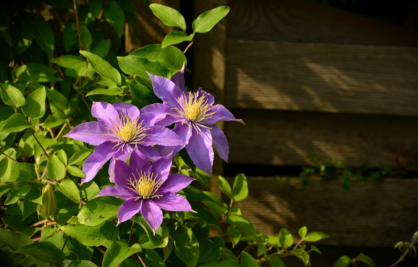 Photo wallpaper leaves, flowers, wall, Board, plant, clematis, clematis
