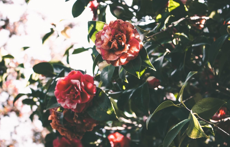Photo wallpaper leaves, flowers, green, Camellia