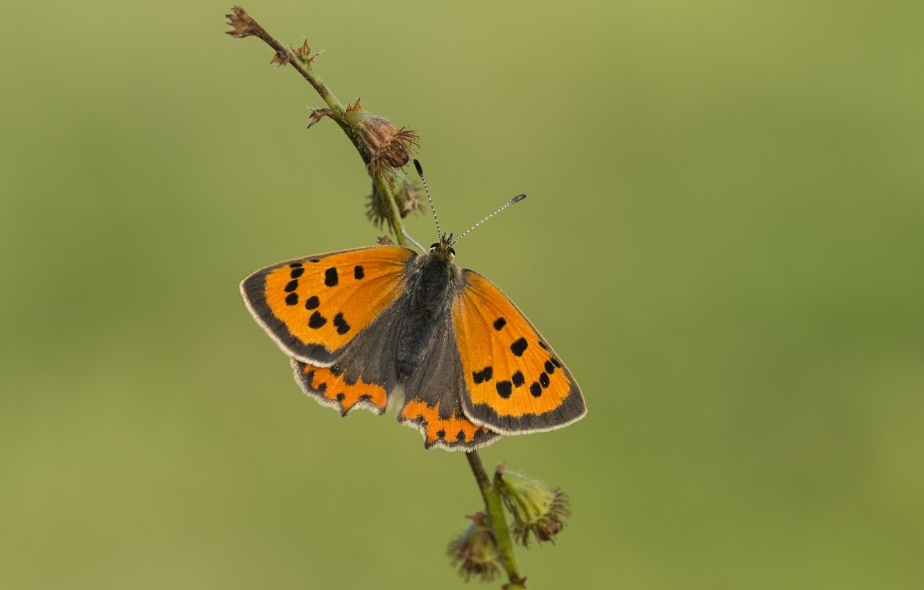 Photo wallpaper macro, butterfly, megapesca spotted, Ducat spotted