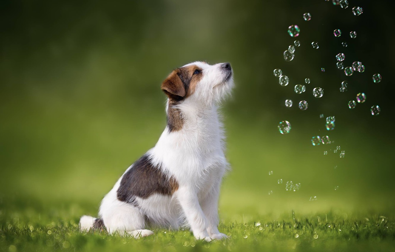Photo wallpaper dog, bubbles, Jack Russell Terrier