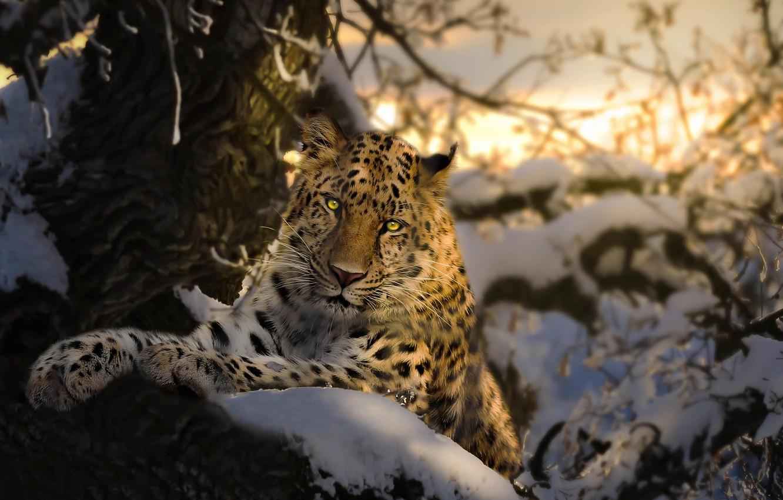 Photo wallpaper winter, snow, branches, nature, tree, animal, predator, IRBIS, bars, Thai Phung