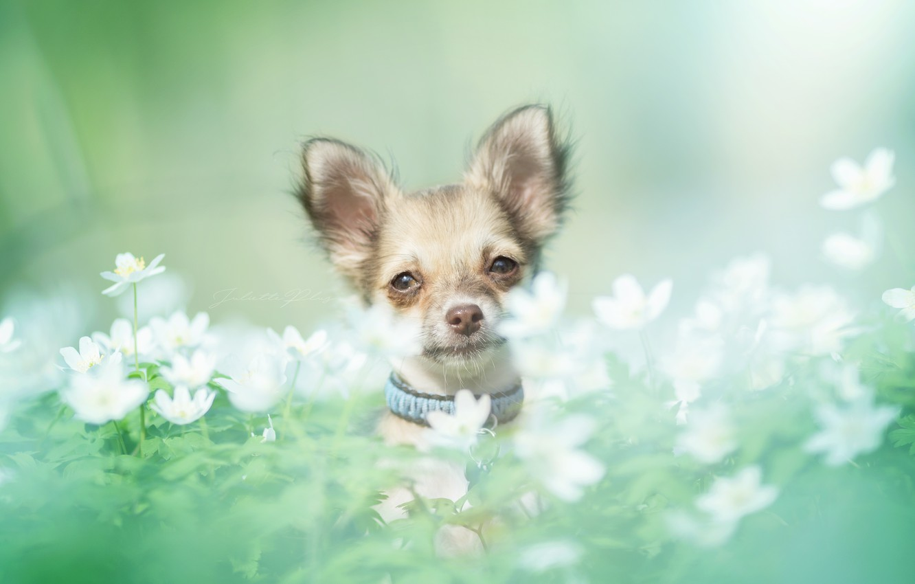Photo wallpaper look, flowers, dog, muzzle, Chihuahua, bokeh, doggie, dog