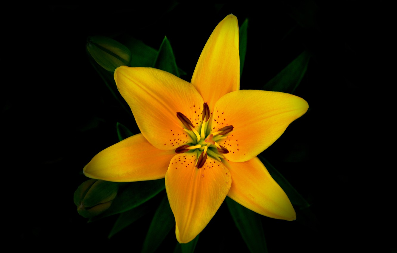 Photo wallpaper flower, background, Lily, petals