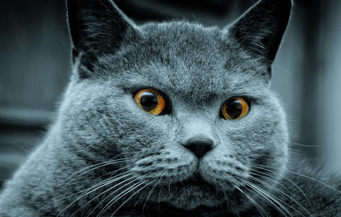 Photo wallpaper cat, animals, British Shorthair, favorite pet