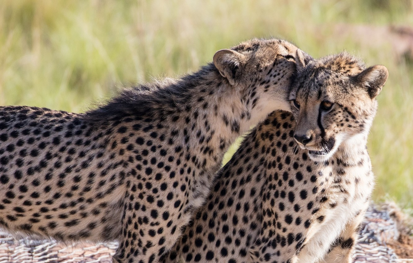 Photo wallpaper the game, predators, bite, pair, wild cats, two, young, cheetahs